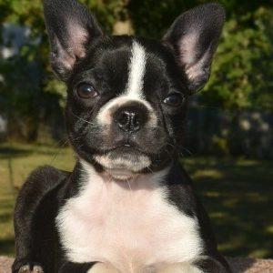 cheap pomsky puppie
