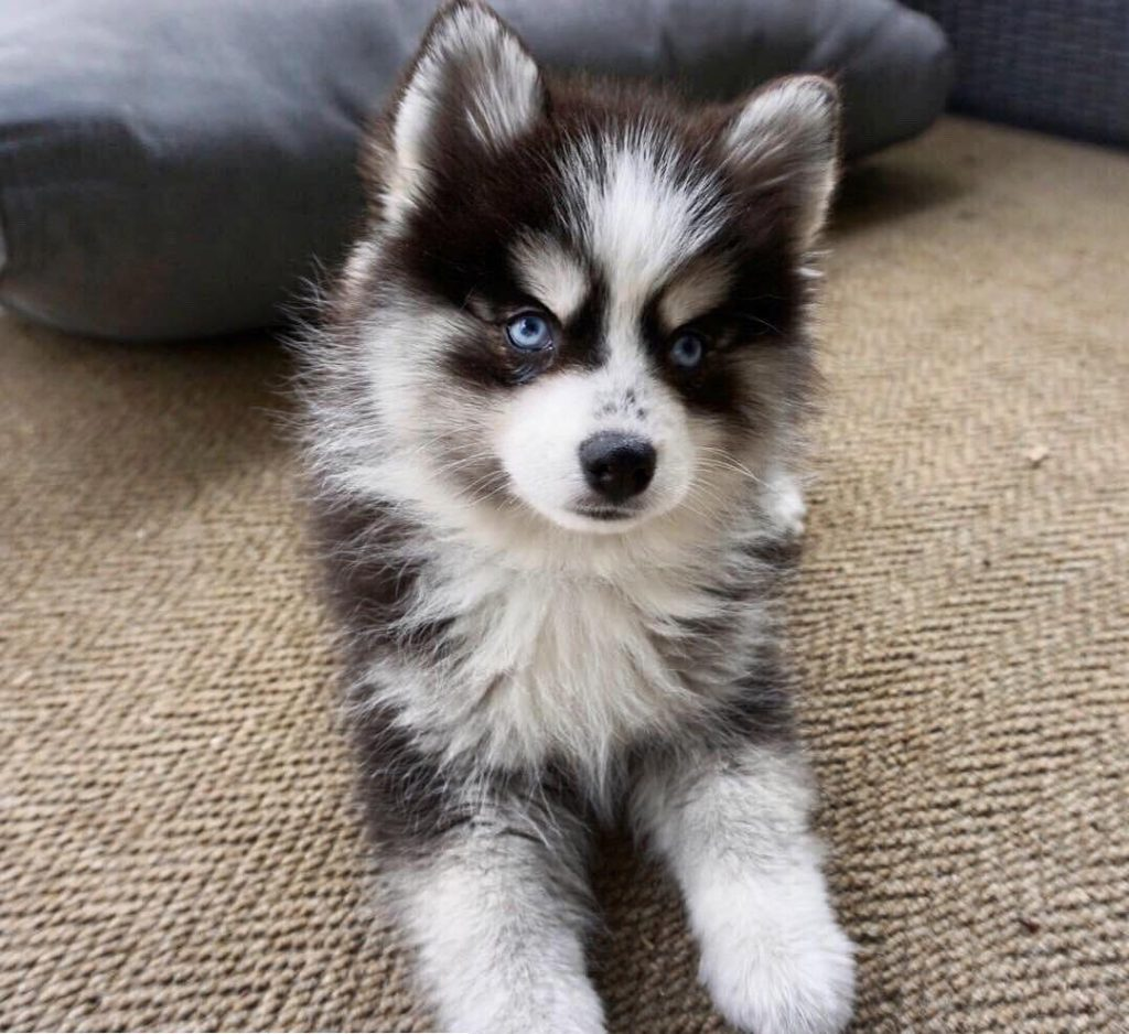 AKC Pomsky puppies available