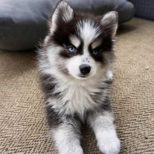 Pomsky for sale price
