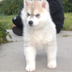 Registered Bloodline Pomsky puppies