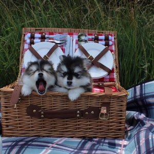 mini pomsky puppies