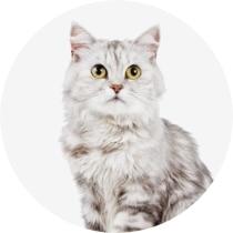 Cat friendly Pomsky