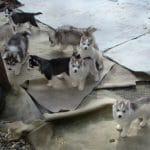 siberian husky puppies for sale breeders