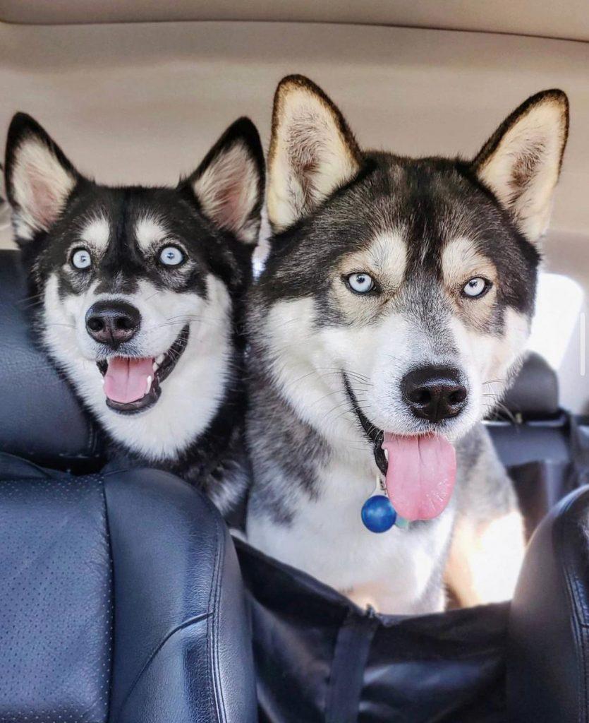 Husky parents